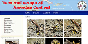 Bees and wasps of America Central